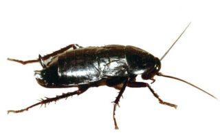 Blatta Orientalis